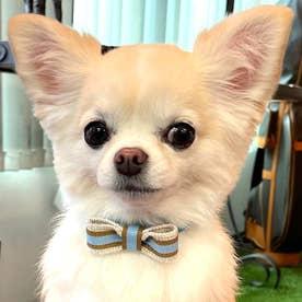 スープルリボンカラー 21 小型犬ウルトラスエード首輪 【返品不可商品】(サックスブルー)
