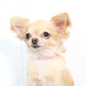 パールビーズカラー 21 小型犬・猫用革首輪 (ピンク)【返品不可商品】